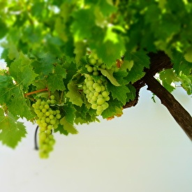 Grapes at Casita Las Pasas