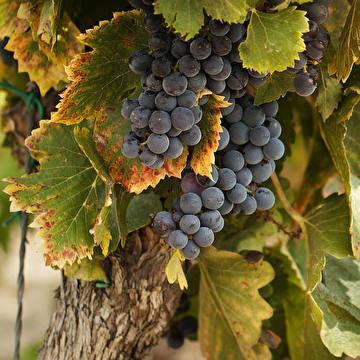 Wijn uit onze wijngaard